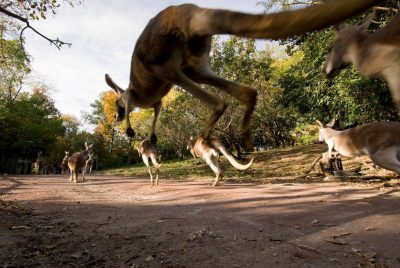 Red kangaroos (Macropus rufus) at the Kansas City Zoo.