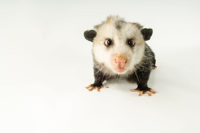 Picture of an opposum (Didelphis virginiana) at the Denver Zoo.
