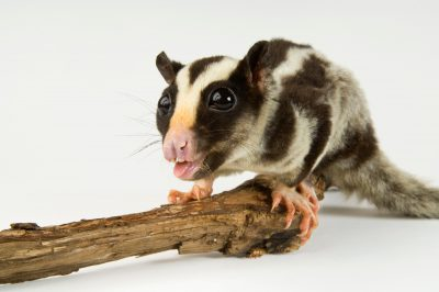A striped possum (Dactylopsila trivirgata) at Omaha's Henry Doorly Zoo.