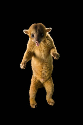 A kinkajou (Potos flavus) at the NYS Zoo. This animal is native to Central and South America.