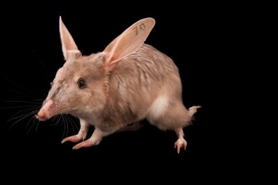 Bilby (Macrotis lagotis), a vulnerable Australian mammal.