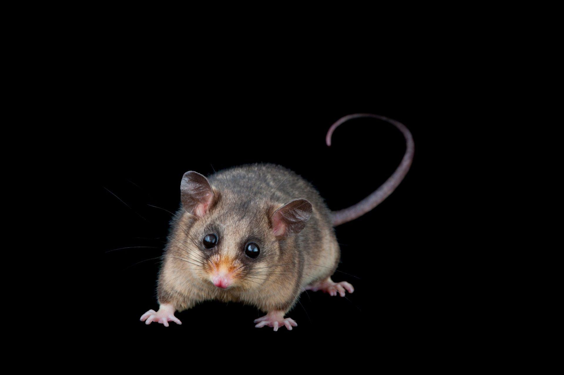 A mountain pygmy possum (Burramys parvus) a critically-endangered mammal from Victoria, Australia.