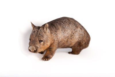 A southern hairy-nosed wombat (Lasiorhinus latifrons) at the Melbourne Zoo.