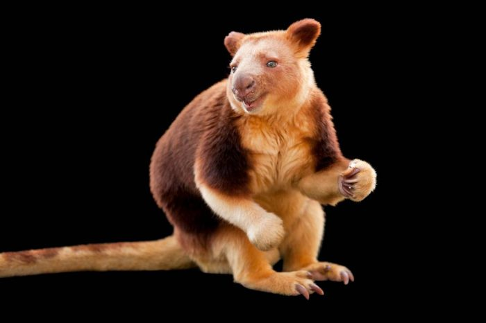 An endangered Goodfellow's tree-kangaroo (Dendrolagus goodfellowi) at the Melbourne Zoo.