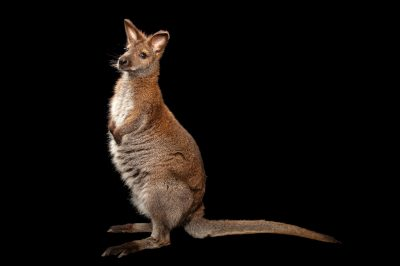 Red-necked wallaby (Macropus rufogriseus) at the Lincoln Children's Zoo.