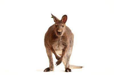 A red-necked wallaby (Macropus rufogriseus) at the Gladys Porter Zoo.