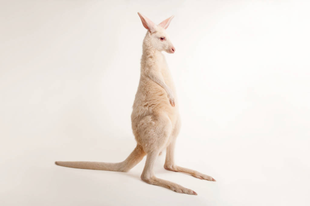Albino eastern grey kangaroo (Macropus giganteus) at the Columbus Zoo