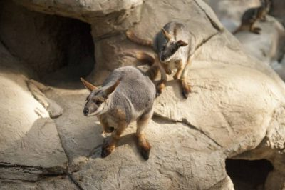 A federally endangered yellow-footed rock wallabies (Petrogale xanthopus) in a constructed habitat at the California Zoo.