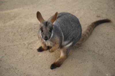 A federally endangered yellow-footed rock wallaby (Petrogale xanthopus).
