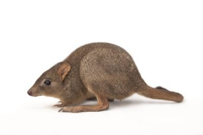A critically endangered (IUCN) and federally endangered woylie (Bettongia penicillata) at the California Zoo.