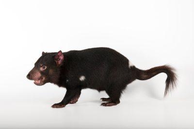 An endangered tasmanian devil (Sarcophilus harrisii) at the Australia Zoo.