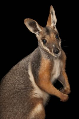 A federally endangered yellow-footed rock wallaby (Petrogale xanthopus) at Omaha Zoo's Wildlife Safari Park.