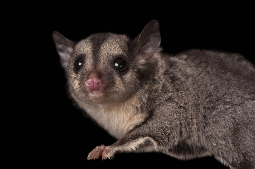 Picture of a sugar glider (Petaurus breviceps).