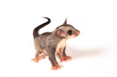 A squirrel Glider (Petaurus norfolcensis).