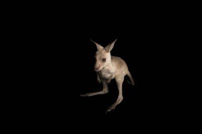 An Eastern gray kangaroo (Macropus giganteus).