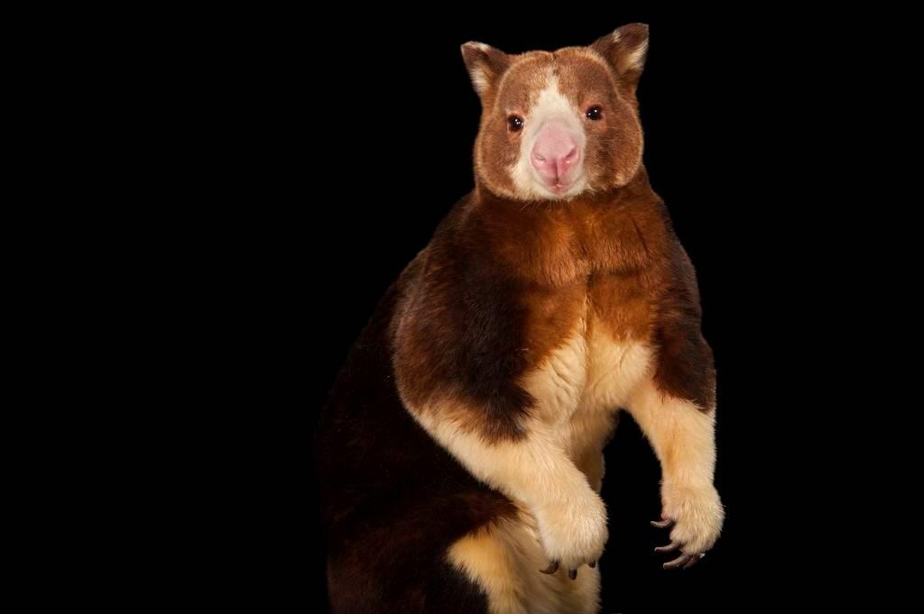 Picture of an endangered Matschie's tree kangaroo (Dendrolagus matschiei) at the Lincoln Children's Zoo.