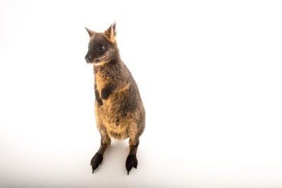 Picture of a Swamp wallaby (Wallabia bicolor) at Healesville Sanctuary in Healesville, Victoria, Australia.