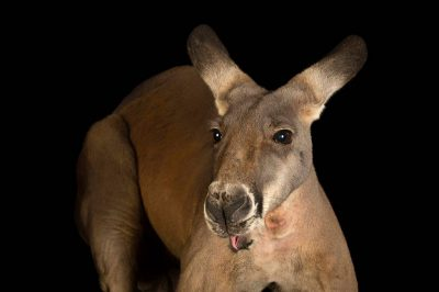 Picture of a male red kangaroo (Macropus rufus) named Irwin at the Palm Beach Zoo.