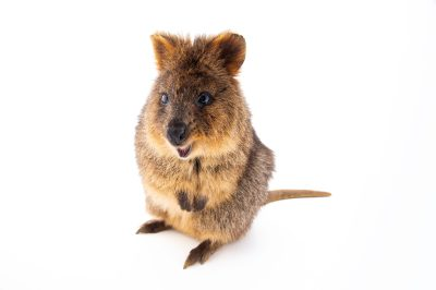 Photo: A vulnerable quokka (Setonix brachyurus) named Autumn at the Taronga Zoo in Sydney, Australia.