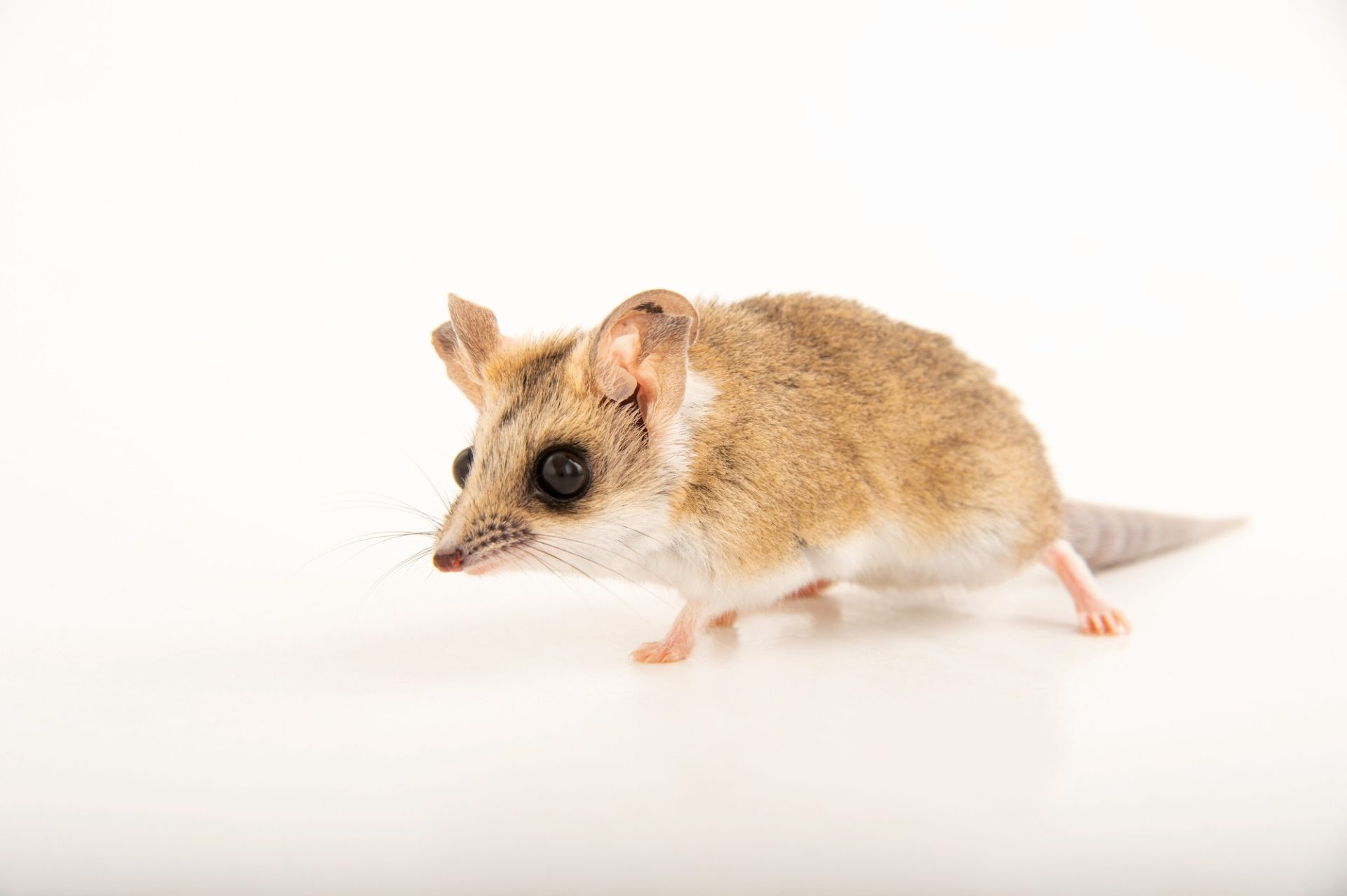 Picture of a fat-tailed dunnart (Sminthopsis crassicaudata crassicaudata) at Wild Life Sydney Zoo.