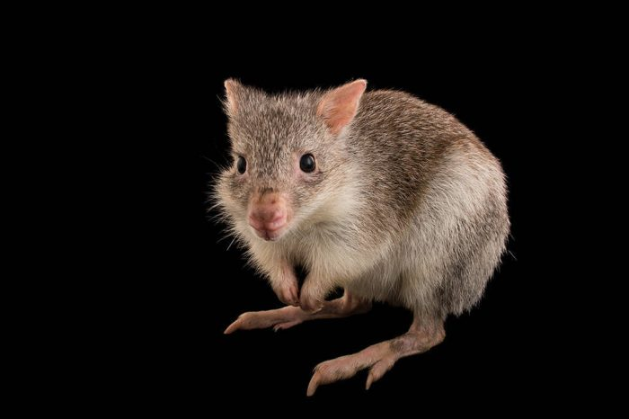 Picture of a rufous bettong (Aepyprymnus rufescens) named Shorty at Wild Life Sydney Zoo.