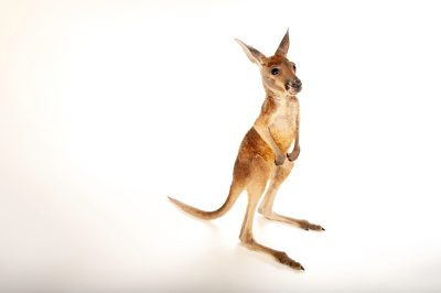 Picture of a baby red kangaroo (Macropus rufus) at Rolling Hills Wildlife Adventure near Salina, Kansas.