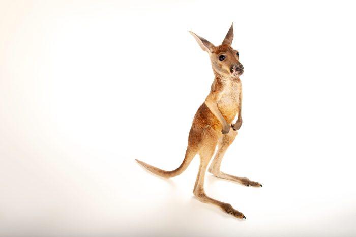 Picture of a baby red kangaroo (Macropus rufus) at Rolling Hills Wildlife Adventure near Salina, Kansas.