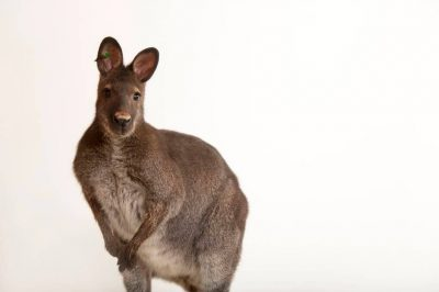 A Bennet's or red-necked wallaby (Macropus rufogriseus) at the Gladys Porter Zoo in Brownsville, Texas.