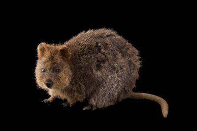Photo: A vulnerable quokka (Setonix brachyurus) named Autumn at the Taronga Zoo.