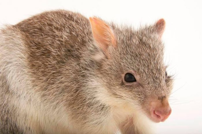 Picture of a rufous rat-kangaroo named Shorty (Aepyprymnus rufescens) at the Wild Life Sydney Zoo.