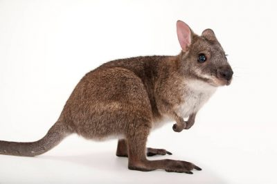 A federally endangered parma wallaby (Macropus parma) at the Cleveland Metroparks Zoo.