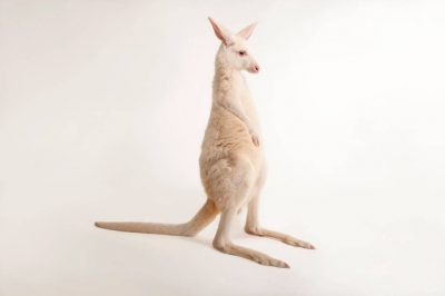 An albino Eastern grey kangaroo (Macropus giganteus) at the Columbus Zoo.