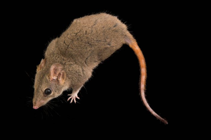 Picture of a red-tailed phascogale (Phascogale calura), a small carnivorous marsupial at the Taronga Zoo.