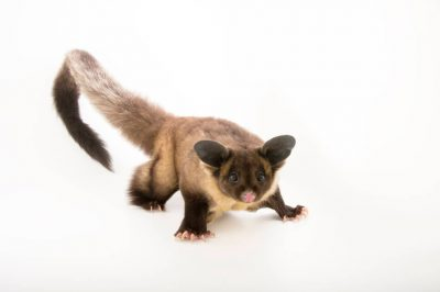 Picture of a yellow-bellied glider (Petaurus australis) named Shy at the Taronga Zoo.