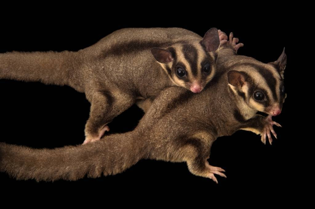 Picture of sugar gliders (Petaurus breviceps) from a private collection in the Dominican Republic.