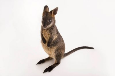 Picture of a juvenile swamp wallaby (Wallabia bicolor) at the Healesville Sanctuary.