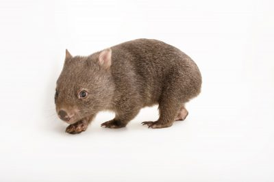 Picture of a juvenile common wombat (Vombatus ursinus tasmaniensis) at the Healesville Sanctuary. This is a ten-month-old named 'Poa.'