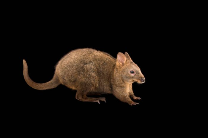Picture of a red-bellied pademelon (Thylogale billardierii) at the Healesville Sanctuary.