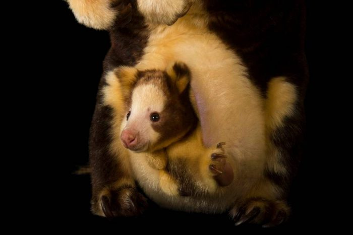 Picture of an endangered Matschie's tree-kangaroo with her joey (Dendrolagus matschiei) at Zoo Miami.