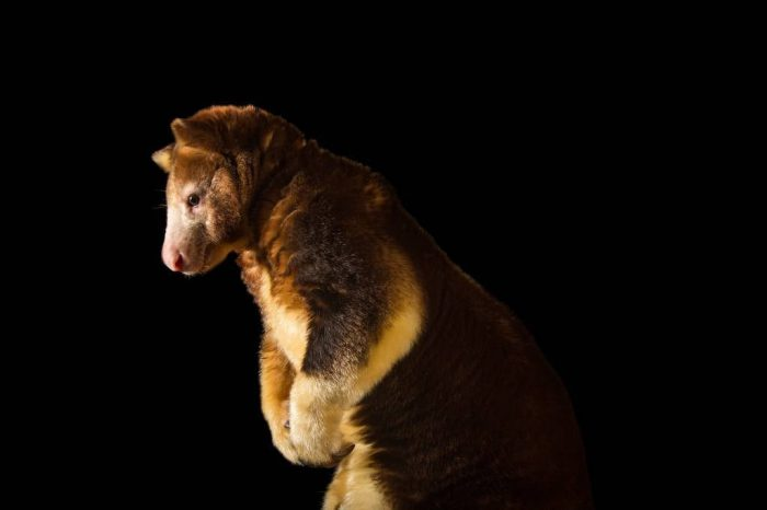 Picture of an endangered Matschie's tree-kangaroo (Dendrolagus matschiei) at Zoo Miami.