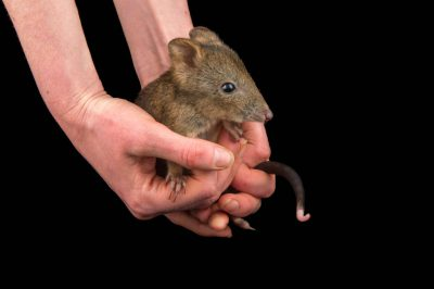 Picture of a juvenile long-nosed potoroo (Potorous tridactylus) at the Healesville Sanctuary.