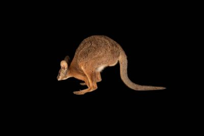 A tammar wallaby (Macropus eugenii) at the Lincoln Children's Zoo.