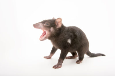 Picture of a five-month-old, endangered Tasmanian devil (Sarcophilus harrisii) joey named 'Mulana' at Healesville Sanctuary. Its name means 'spirit' in the Aboriginal language.