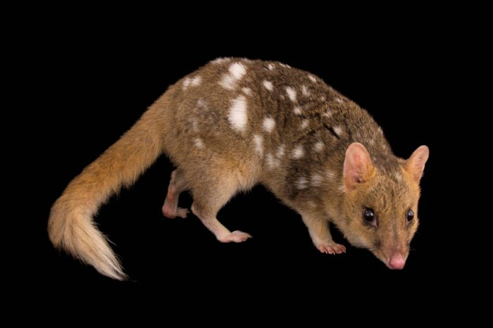 Picture of a federally endangered Eastern quoll (Dasyurus viverrinus) named 'Tahni' at Healesville Sanctuary.