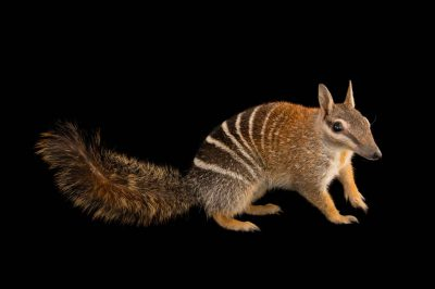 Picture of an endangered (IUCN) and federally endangered numbat (Myrmecobius fasciatus) at Healesville Sanctuary.