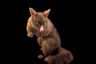Picture of a common brushtail possum (Trichosurus vulpecula) at the Kiwi Birdlife Park in Queenstown, NZ.