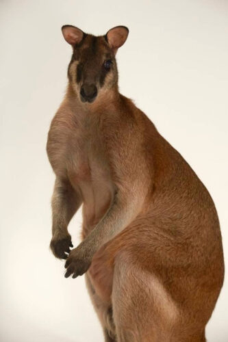 Picture of an agile wallaby (Macropus agilis) at the Brevard Zoo in Melbourne, FL.