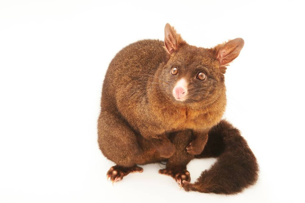 Picture of a common brushtail possum (Trichosurus vulpecula) at the Kiwi Birdlife Park in Queenstown, New Zealand.