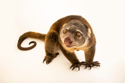 Photo: Sulawesi bear cuscus (Ailurops ursinus) at Wroclaw Zoo in Poland.