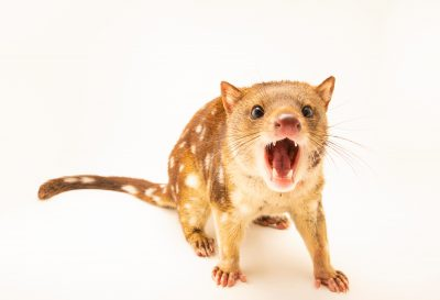 Photo: A three year old Tiger quoll (Dasyurus maculatus) named Quinine at Moonlit Sanctuary.